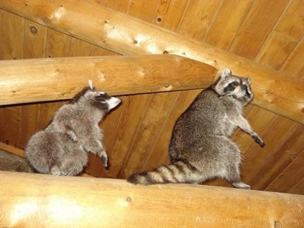 raccoons-in-attic